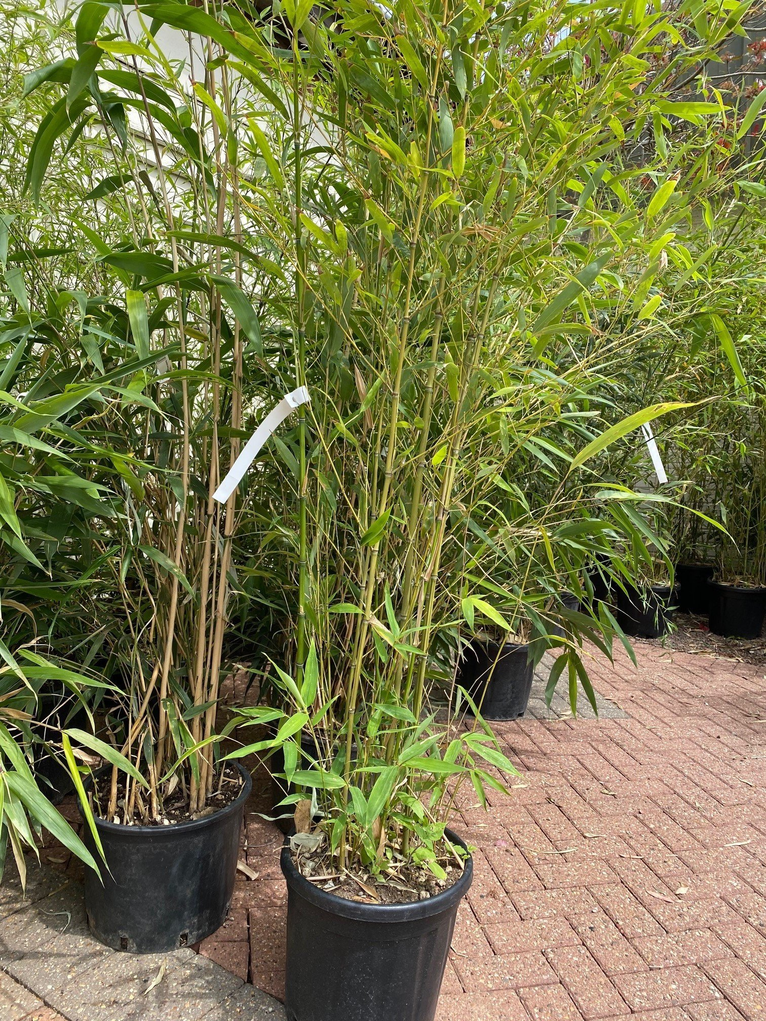 Bamboo Trees – New In Stock